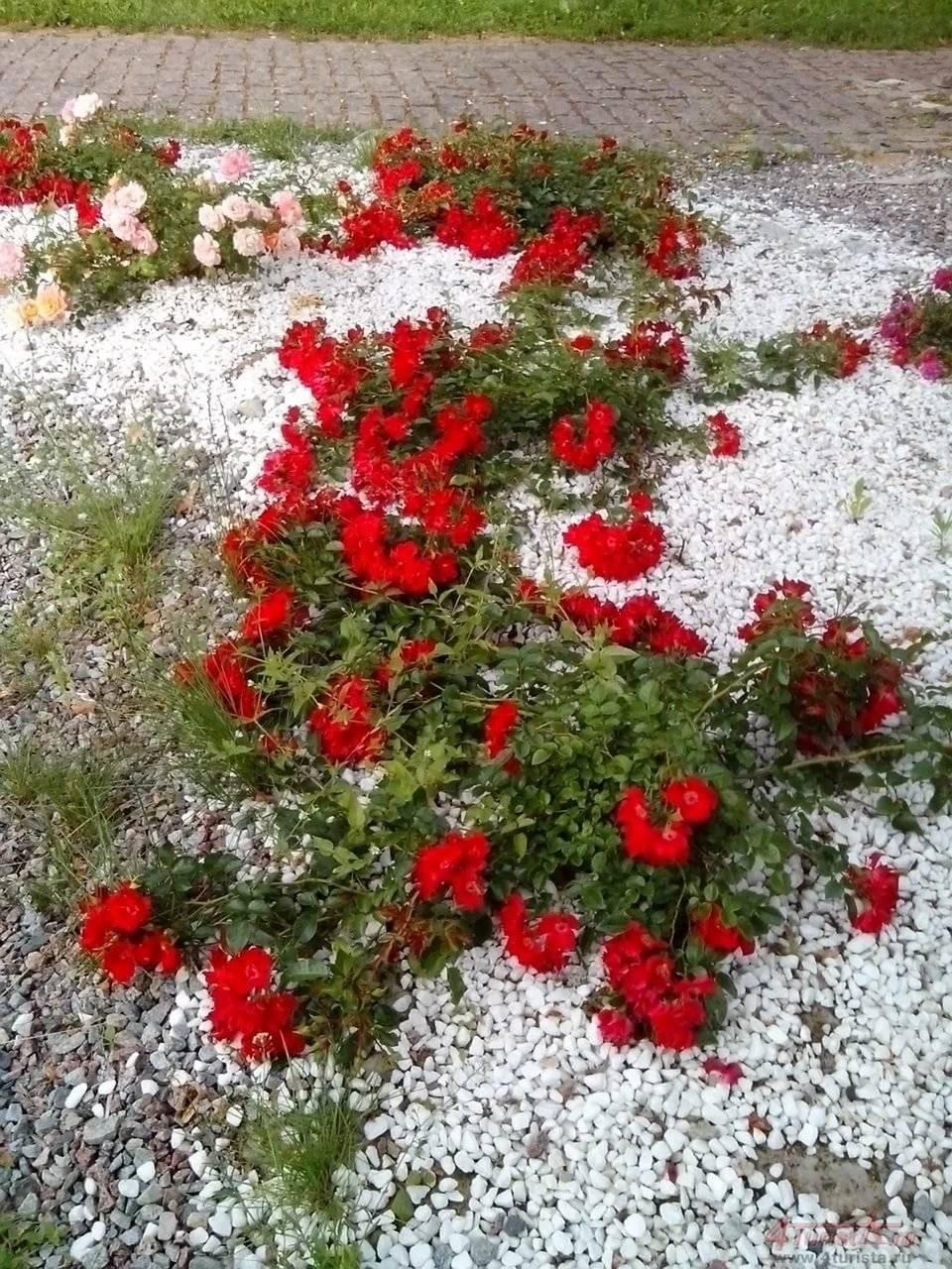 полиграфических стелющиеся розы фото и названия кланы сталкивались