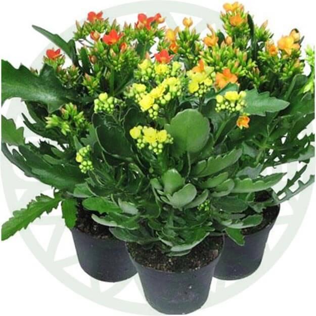 Как поливать каланхоэ? как часто осуществлять полив цветка зимой и в другое время года в домашних условиях? уход и полив каланхоэ во время цветения