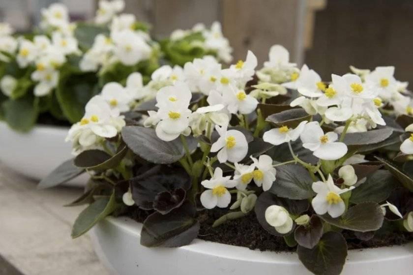 Выращивание из семян бегонии вечноцветущей