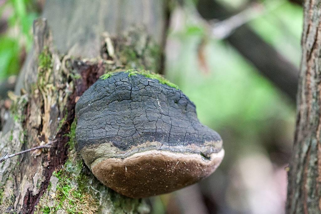 Звездовик сводчатый: польза гриба. где растет звездовик?