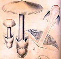 Поплавок белоснежный (amanita nivalis) как выглядит, где и как растет, съедобный или нет
