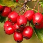 Все что нужно знать о выращивании и уходе экзотического растения аморфофаллус