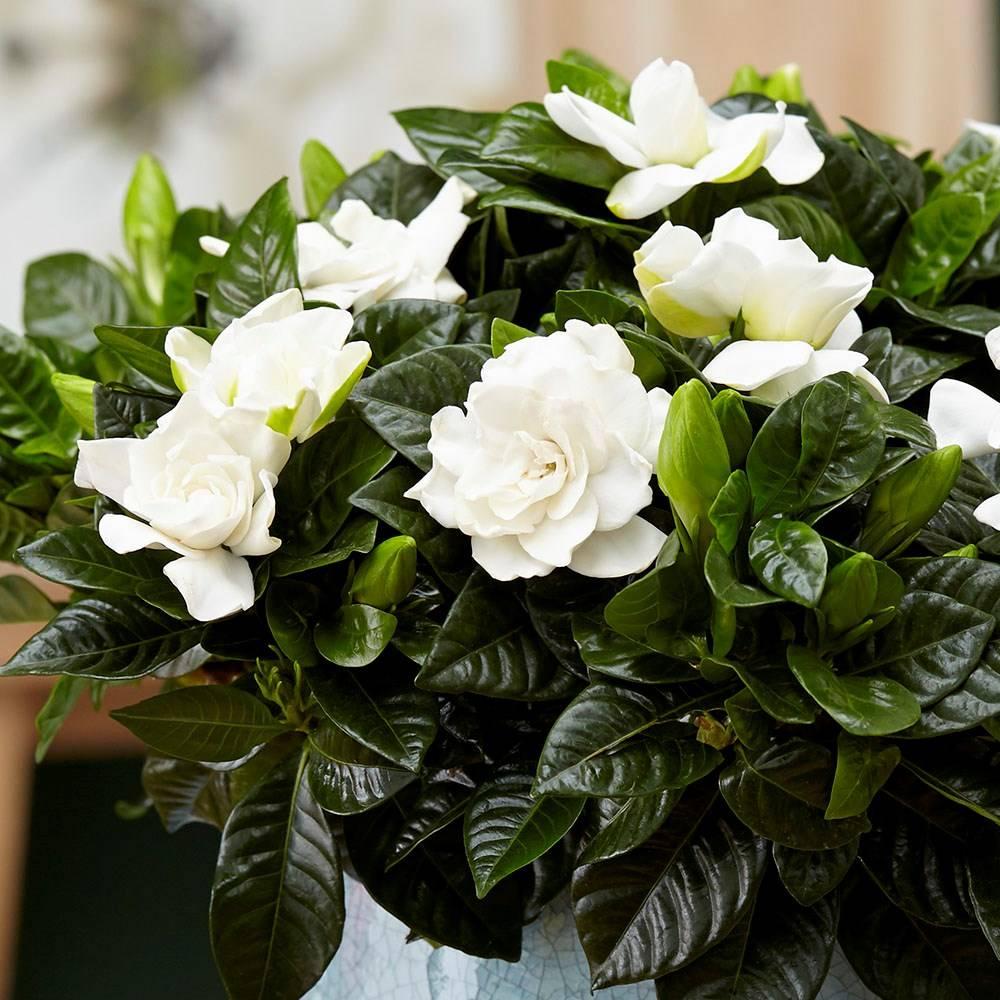 Комнатные растения с белыми цветами в картинках