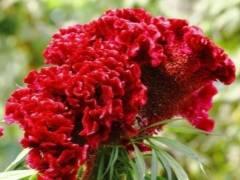 Целозия гребенчатая: описание, фото, выращивание и размножение