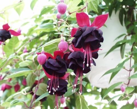 Неприхотливая и очаровательная фуксия: украшение в доме и в саду