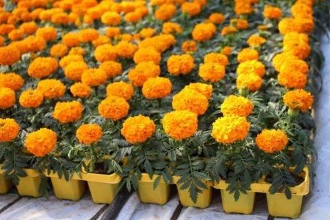 Мини-хоста: сорта и виды, рекомендации по выращиванию