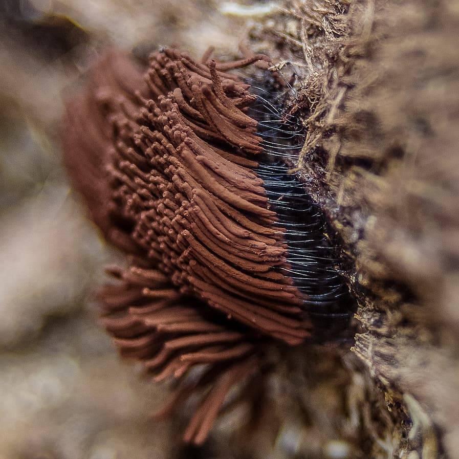Стемонитис осевой: где растет, как выглядит, можно ли есть, описание и фото