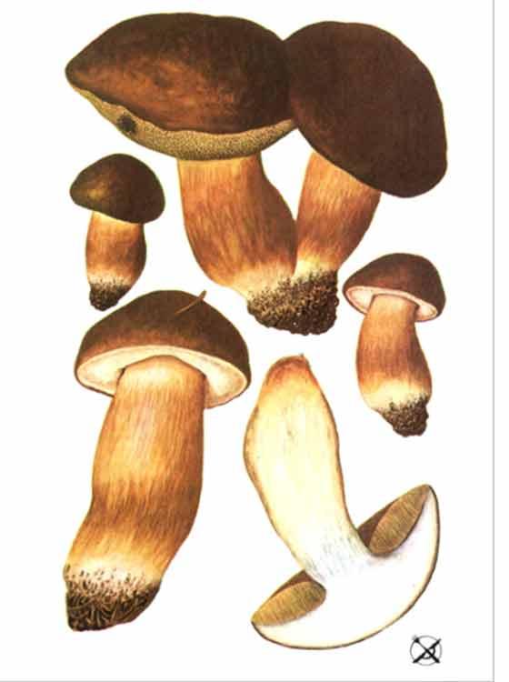 Как выглядит польский белый гриб: описание, отличие от ложных и фото