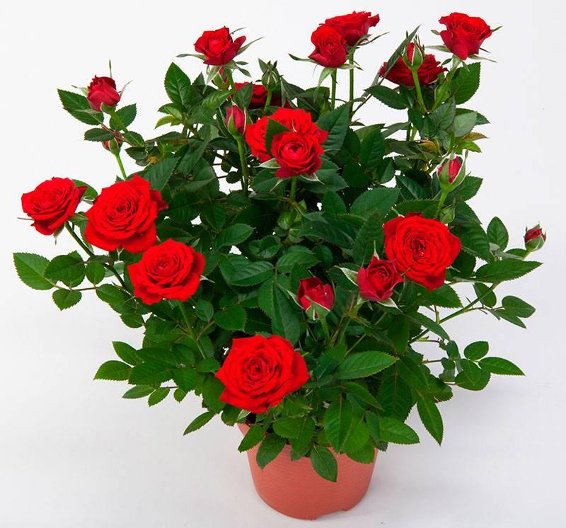 Фото домашних роз