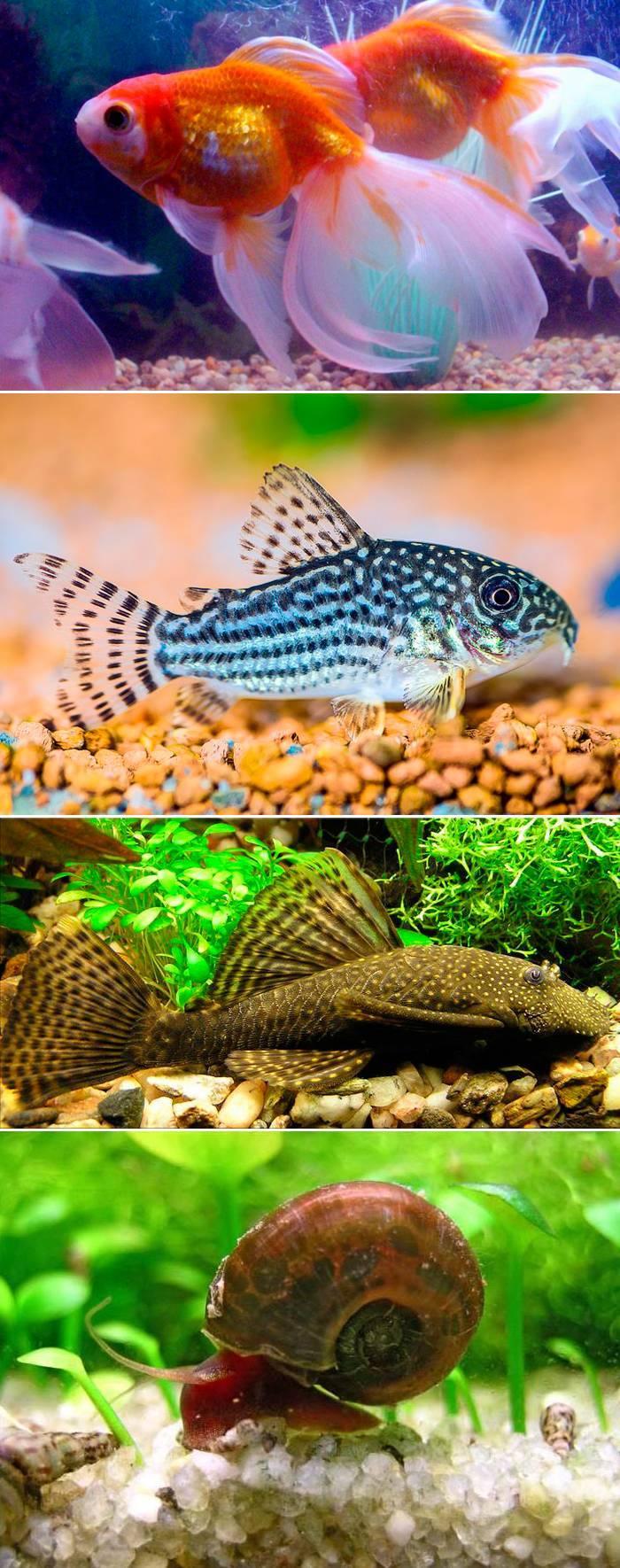 Рыбки санитары