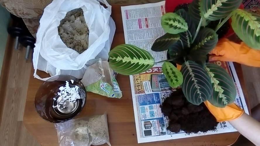 Маранта уход, выращивание, полив, посадка в домашних условиях