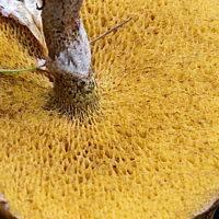 Маслёнок спрэга (suillus spraguei)