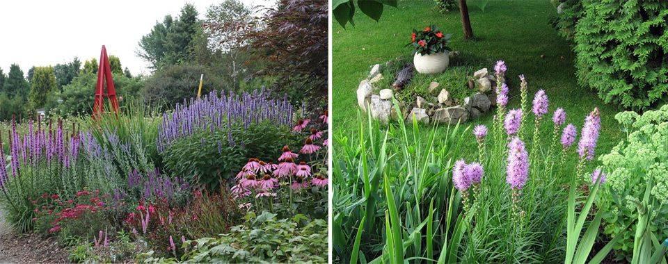Лиатрис: фото цветов, посадка и уход в открытом грунте