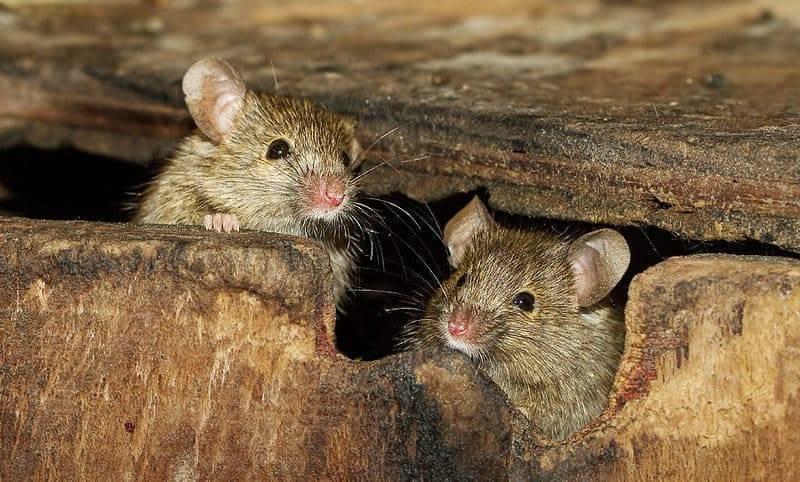 Сдохла мышь под полом как избавиться от запаха в домашних условиях