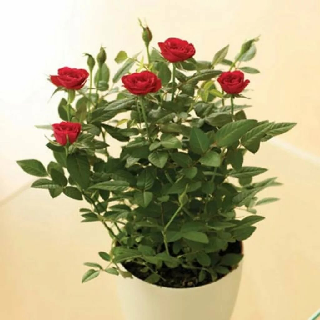 зачем делать домашняя роза уход в домашних условиях фото реальные бомжи, надеюсь