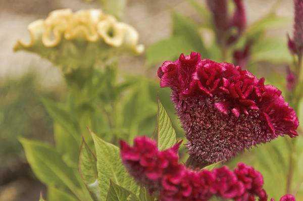 Целозия: виды, лучшие сорта, особенности посадки и ухода