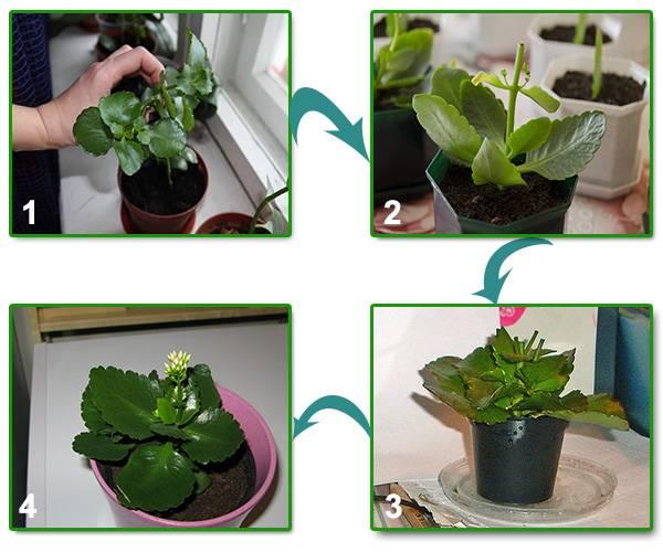 Уход за каланхоэ в домашних условиях: полив, обрезка, прищипывание, фото растения
