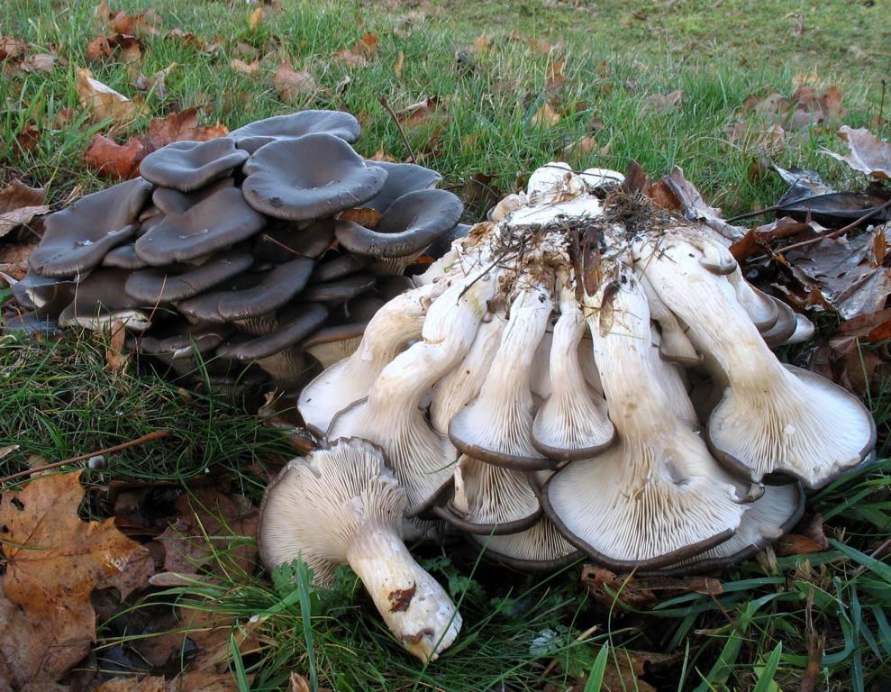 объемным маяком грибы вешенки фото где растут стал