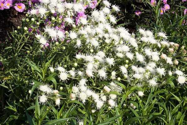 Цветы лиатрис, посадка и уход