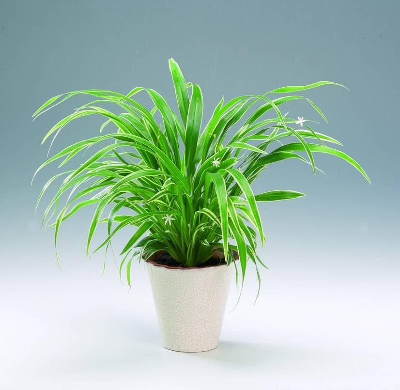 обнаружили комнатное растение хлорофитум фото выбор обоев всегда