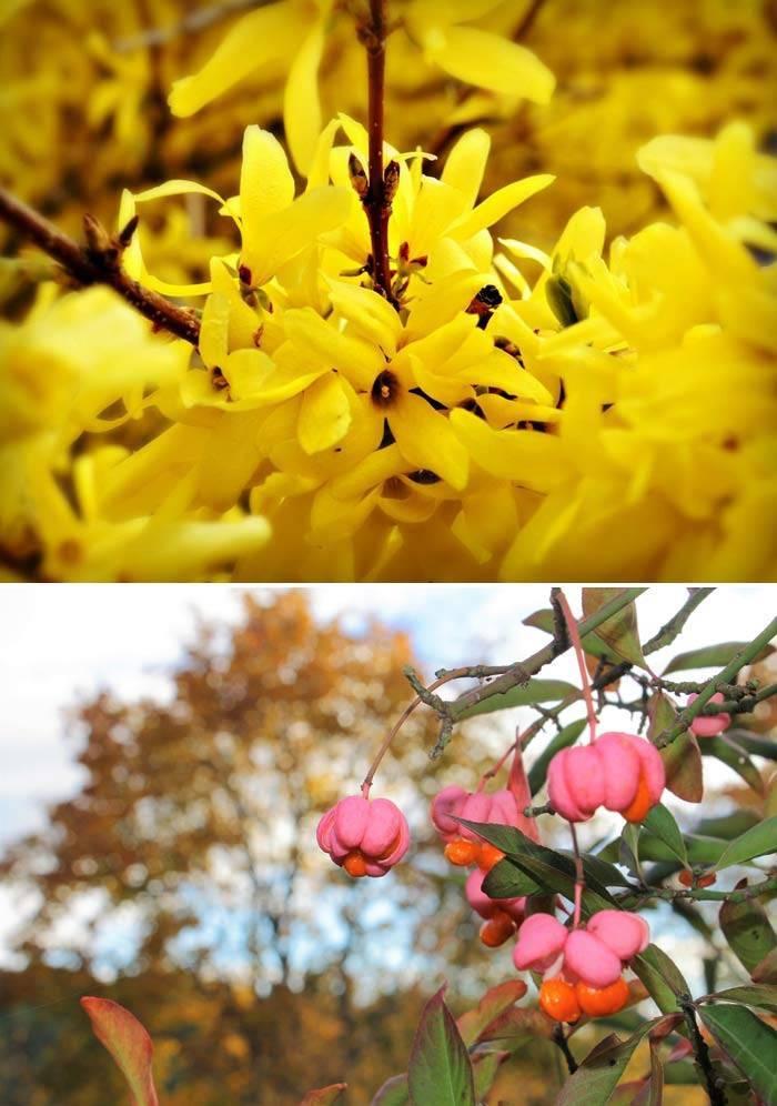 Растения Бересклет и форзиция