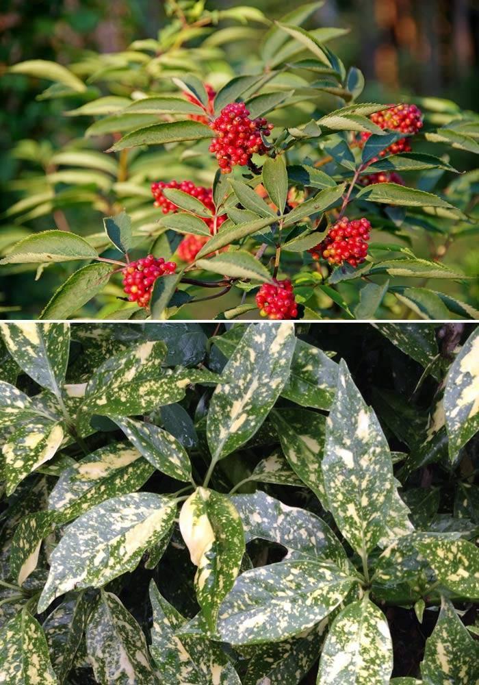 Растения Бузина и аукуба