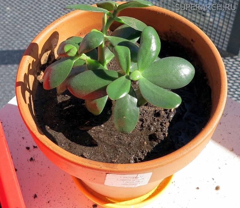 Новый дом для денежного дерева. как правильно пересаживать растение?