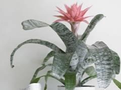 Эхмея полосатая или растение-урна. правила ухода в домашних условиях