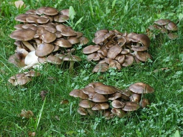Рядовка скученная: описание, применение и отличие от ложных грибов с фото