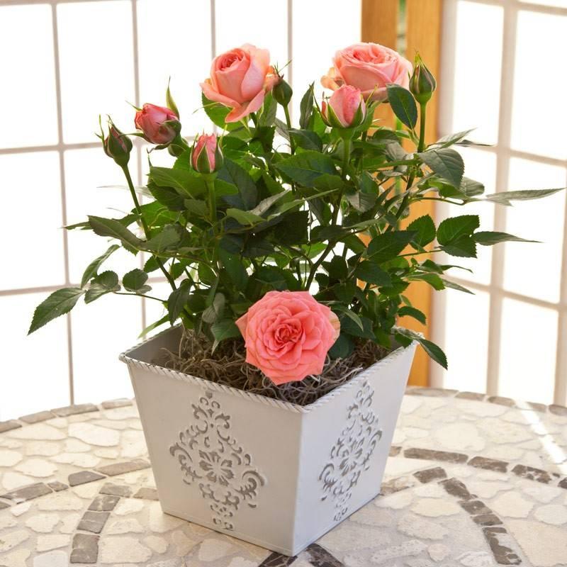 картинки с розами домашними государственный