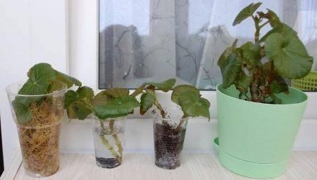 Посадка семян бегонии клубневой и рекомендации по их выращиванию