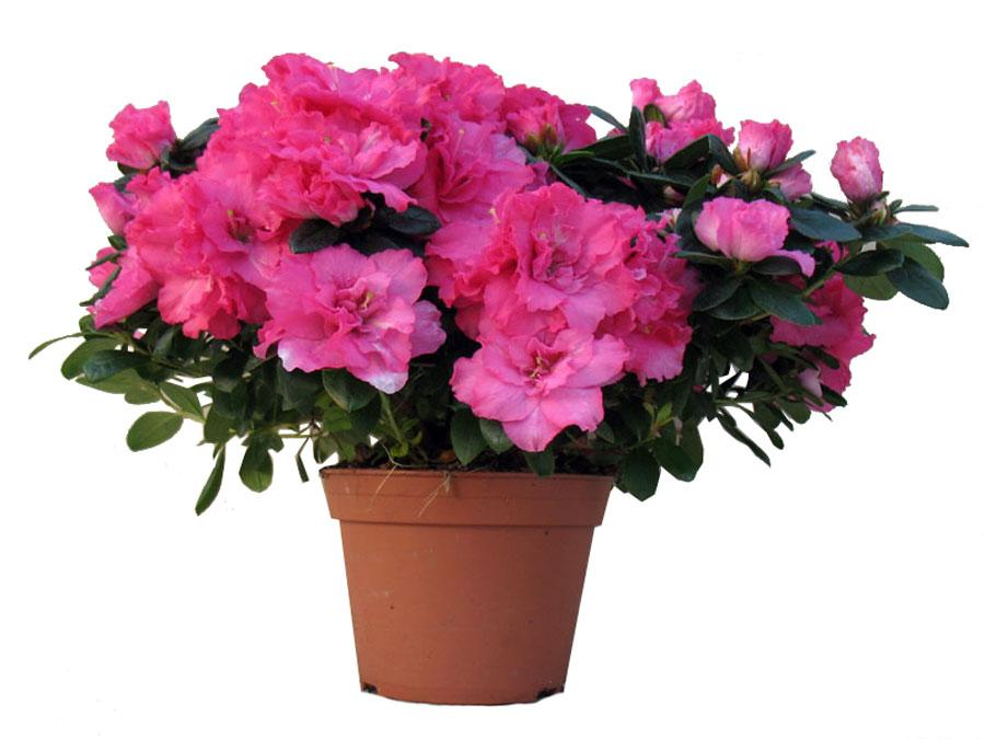 актеры нашего домашние цветы азалия уход за азалией фото мне кажется
