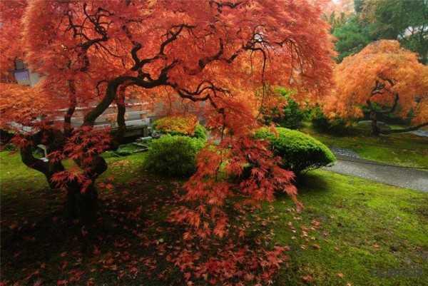 Японский клён: описание и сорта красного клёна, посадка и уход + фото