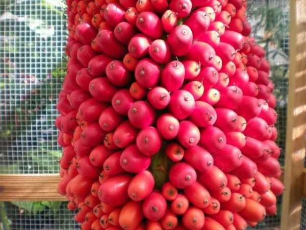 Завораживающее растение аморфофаллус: правила ухода