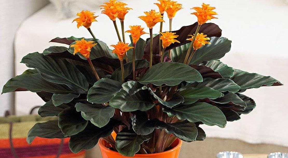 калатея фото цветы хороши