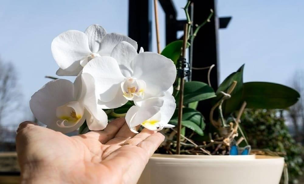 для орхидея и уход за ней в картинках познакомиться ириной-евражкой евражьей
