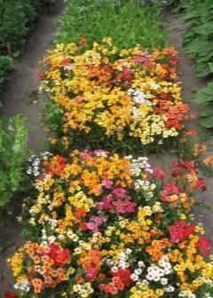 Цветок «немезия»: описание, фото, выращивание из семян, посадка и уход