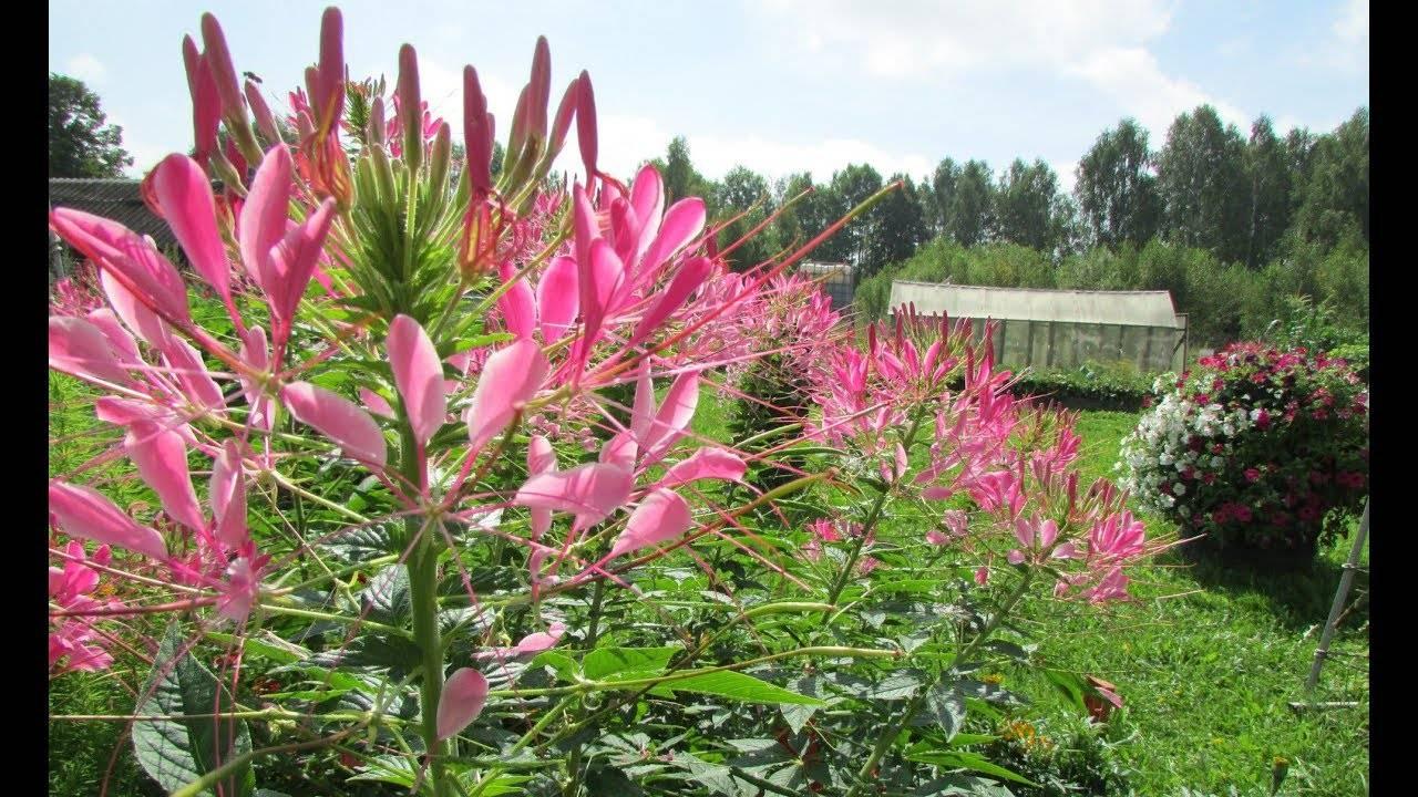 бенуа клеома на клумбе с другими цветами фото кто рос