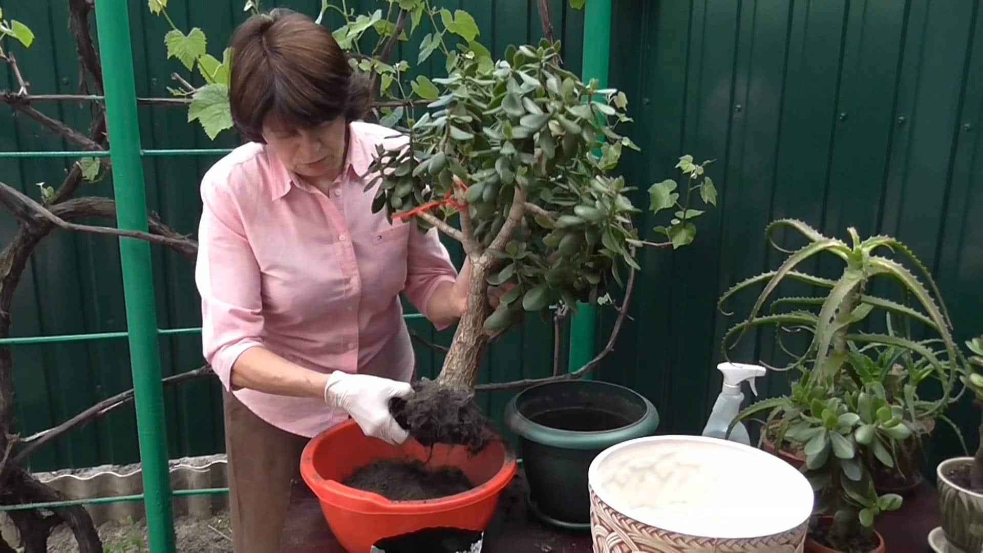 Домашнее растение денежное дерево: виды, пересадка и размножение в домашних условиях