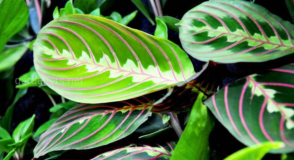 Экзотическая маранта: описание и выращивание дома