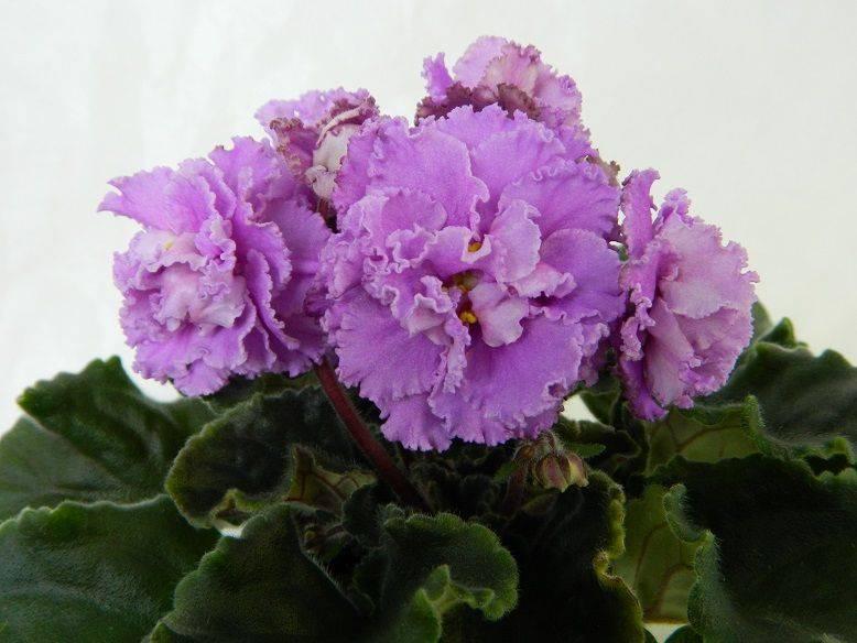 Цветы бархатцы сорта фото поэтому причислить