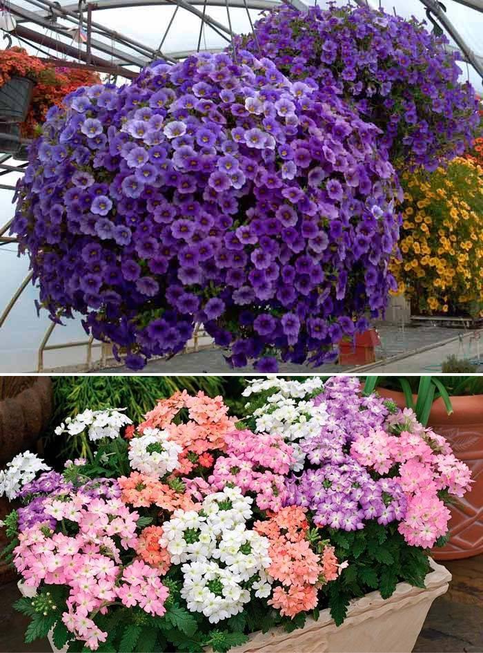 Горшечные цветы для сада