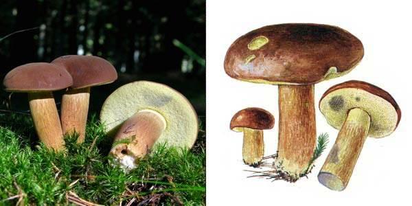 Польский гриб (моховик каштановый): фото и описание, самый полезный среди моховиков