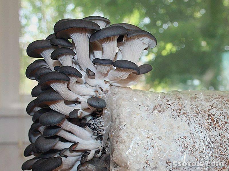 грибы вешенки фото где растут путаница связана тем
