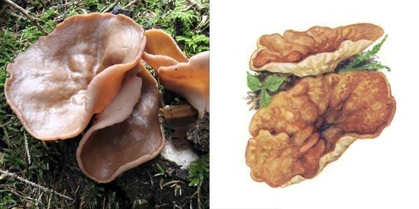 Дисцина щитовидная (блюдцевик розово-красный, discina perlata): как выглядит, где и как растет, съедобный или нет, как готовить