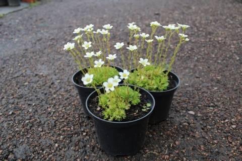 Немезия – посадка, уход за цветком дома и в открытом грунте