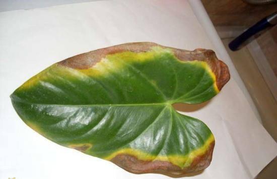 Антуриум: как лечить болезни листьев. фото