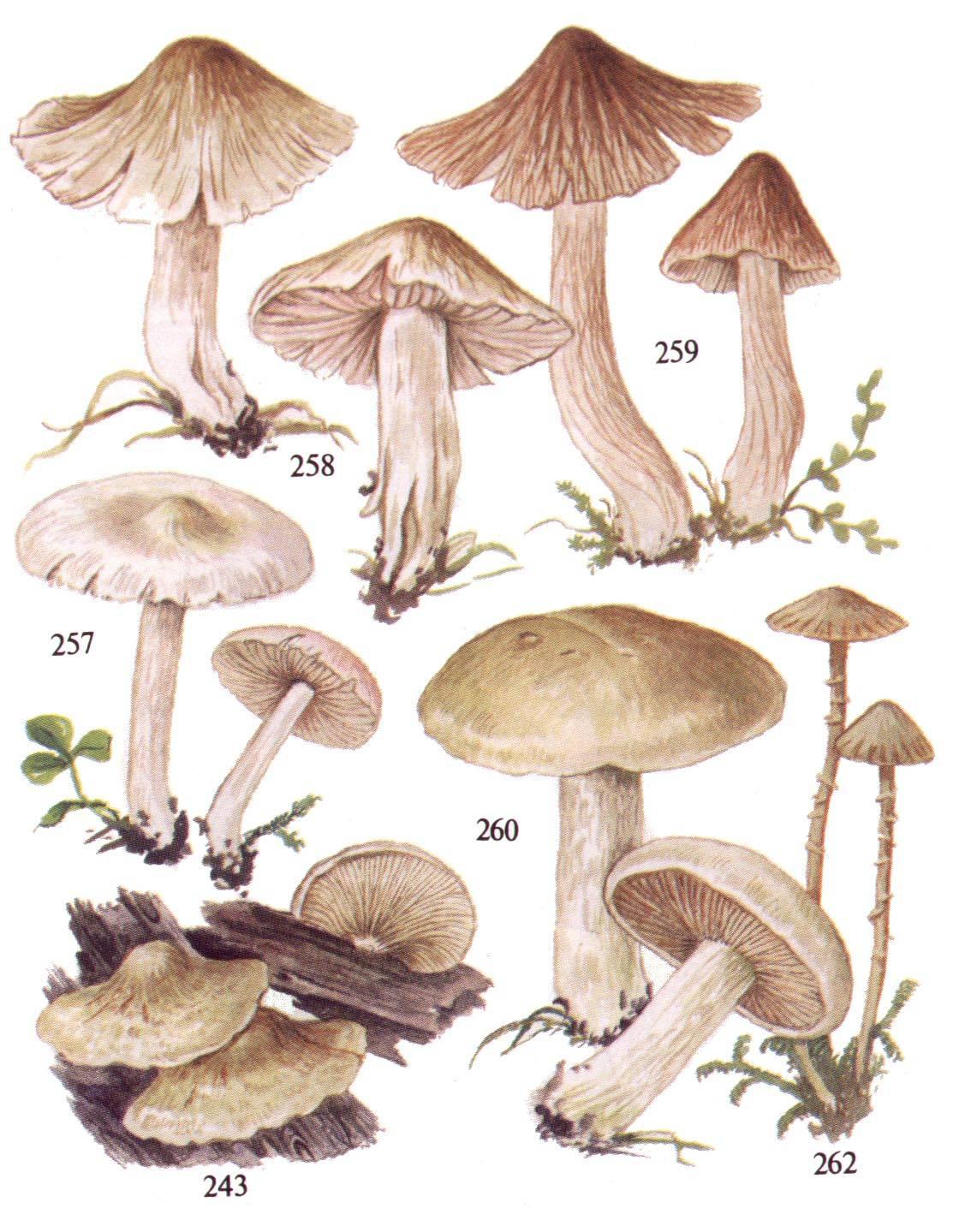 Волоконница патуйяра – самый опасный гриб рода