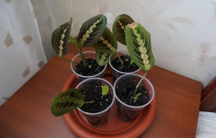 Уход за растением марантой в домашних условиях