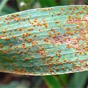 Бурая листовая ржавчина пшеницы
